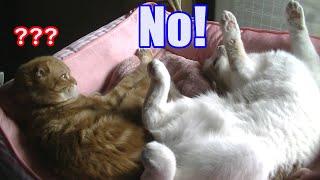 Скачать ななちゃん ももが嫌がってるよ スコティッシュフォールド 猫 Nana Momo Dislikes It