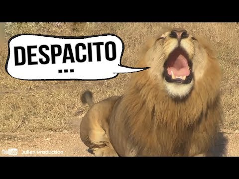 LIONS SING DESPACITO ! 🦁