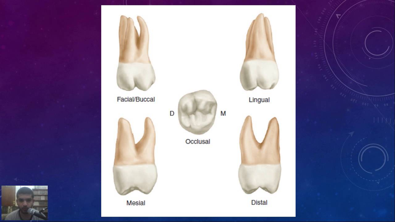 Dental anatomy at a glance, Lec 12, Maxillary second molar - YouTube