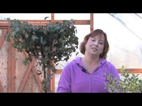 Gardening Tips : How to Care for Topiaries<a href='/yt-w/jwK-lK1WmtY/gardening-tips-how-to-care-for-topiaries.html' target='_blank' title='Play' onclick='reloadPage();'>   <span class='button' style='color: #fff'> Watch Video</a></span>