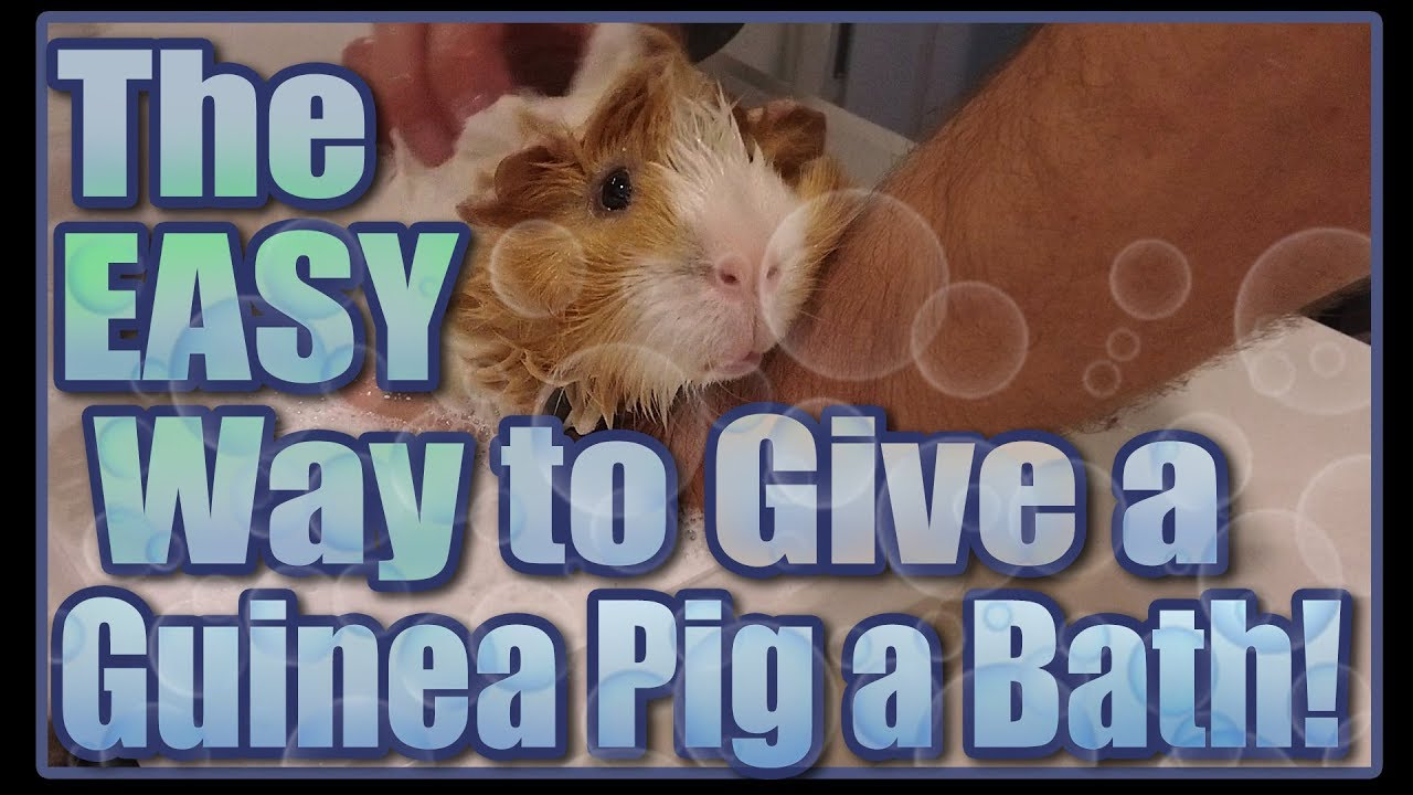 The Easy Way To Give A Guinea Pig A Bath Youtube
