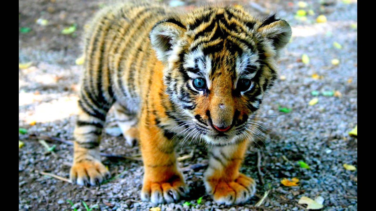 tiger hd wallpapers - youtube