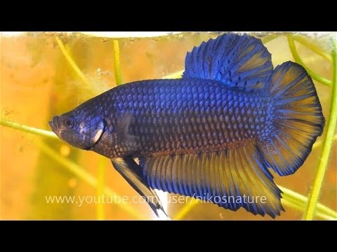 Hd super giant betta male female sparring bubble nest for Biggest betta fish
