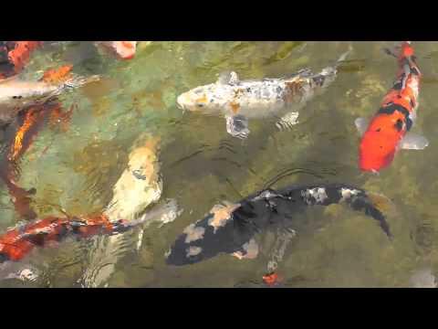 Koi f tterung koiteich gartenteich schwimmteich zah for Karpfen im gartenteich