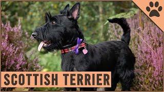 Scottish Terrier (Terrier Escocés) Información De Raza De Perro   Perros Mundo
