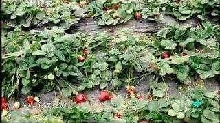 Chinese Doctors'Gathering 中医养生节目《扁鹊会》: 水果皇后 草莓 strawberry 05032014