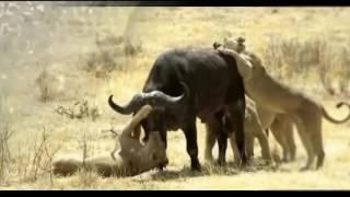 Буйвол убивает Льва, когда животное добычу отбивается Лев против буйвола удивительный нападения живо