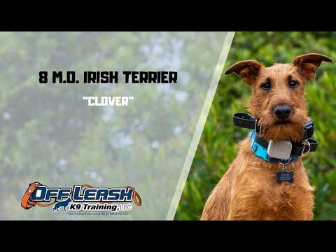 IRISH TERRIER / DOG TRAINING