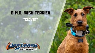 IRISH TERRIER / DOG TRAINING