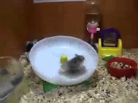 Два смешных хомяка и одно колесо