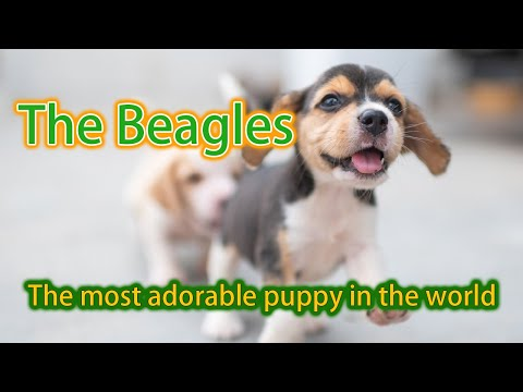 The Most Adorable Beagle Puppies In The World - 凯伦 Allan's Daily VLog