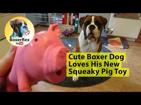 Cute Boxer Dog Loves His New Squeaky Pig Toy 😂