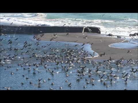 Brown Pelicans Migrating Along Goat Rock Beach