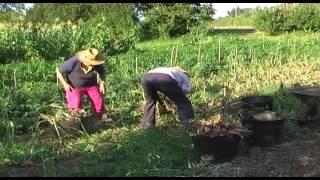 Recogiendo cebollas
