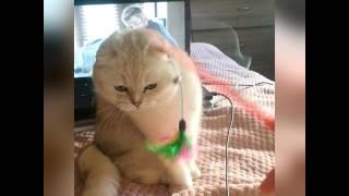 Шотландская вислоухая кошка, серебристая шиншилла в добрые руки