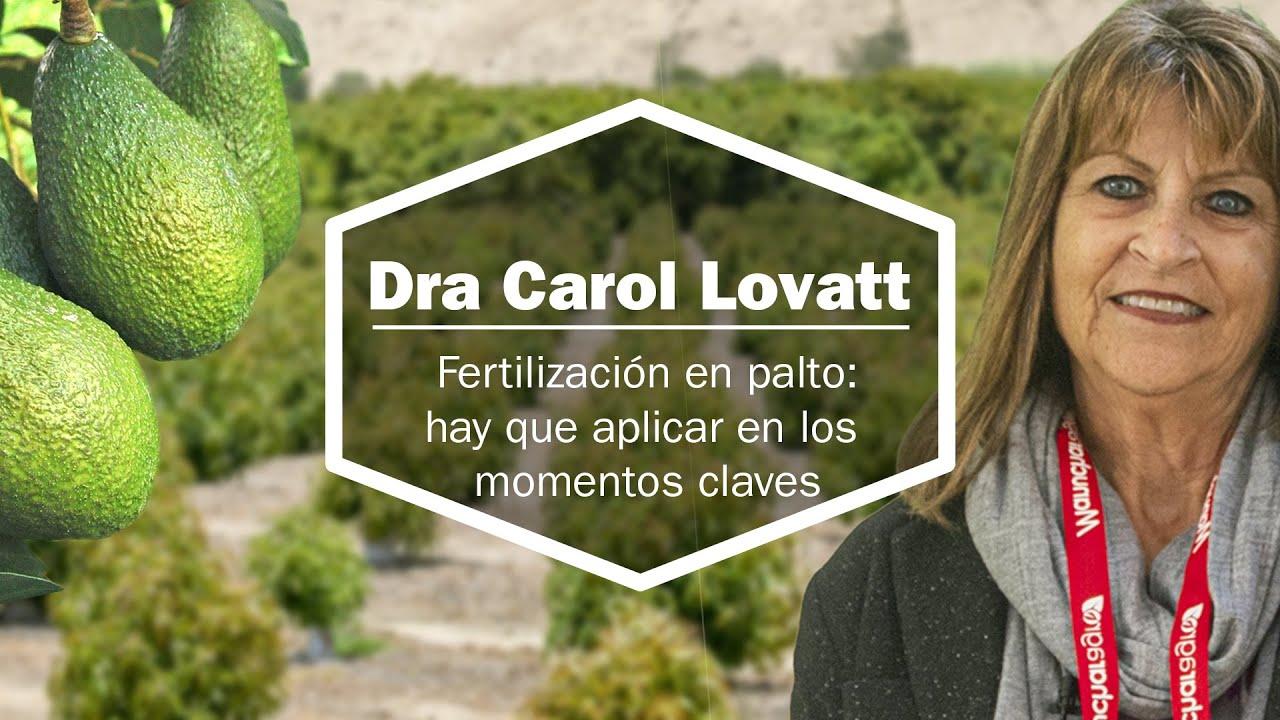 Fertilización del Palto: Hay que aplicar en momentos clave