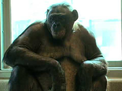 How strong is a chimpanzee, really?
