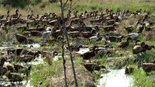 Herding Ducks in a Rice Paddy in Thailand