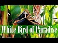 White Bird Of Paradise Enormous Leaves Upright Stems And Exotic Flowers Ngalas(.mp3 .mp4) Mp3 - Mp4 Download