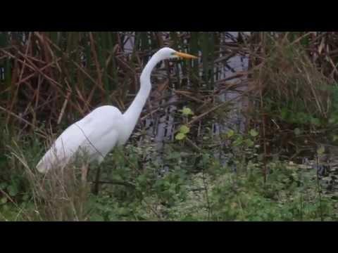 Viera Wetlands, Florida, Limpkin