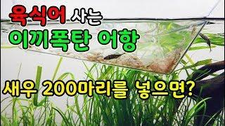 육식어가 사는 이끼폭탄 어항에 새우 200마리를 넣으면?