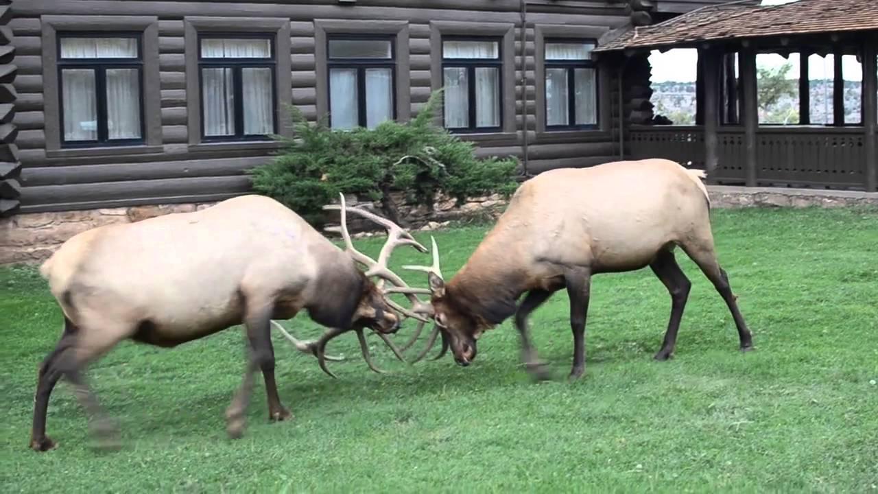 Борьба оленей в национальном парке