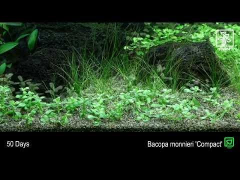 Bacopa monnieri 'Compact'