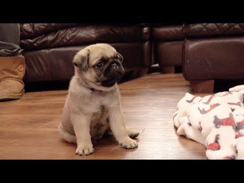 Visiting Winston! | 6 Week Old Pug Puppy