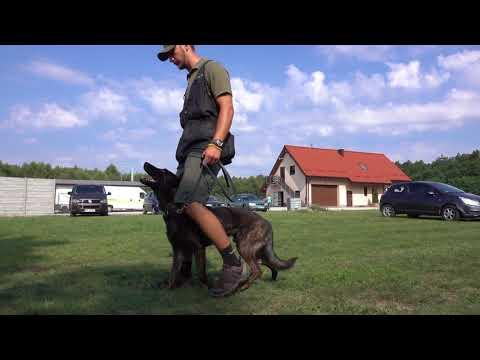 Ture Dutch Shepherd   Obedience