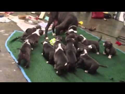Blue Pit Bull Puppies playing w mom