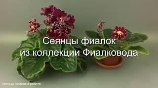 Два красных сеянца фиалок из коллекции Фиалковода