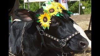 Конкурс красоты коров