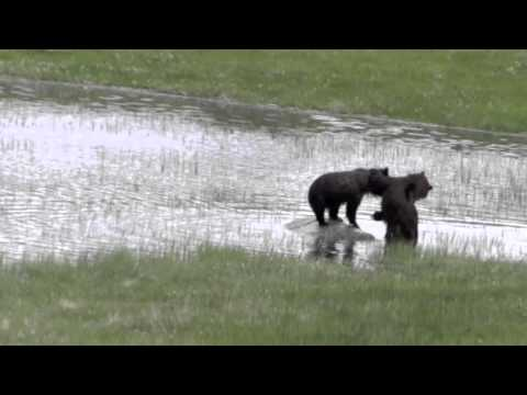 "Grizzly Bear Dance Lesson # 3 - ""Somewhere Else"" - Yellowstone 2011"