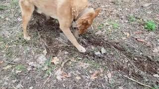 Собака поднимает камни