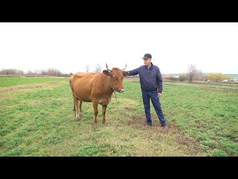 Соцконтракты в помощь: в селе без коровы никак!