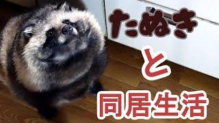 タヌキと2人暮らし 2020 02 16(Lives with a Tanuki)