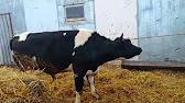 Топ 10 молочных пород коров - YouTube