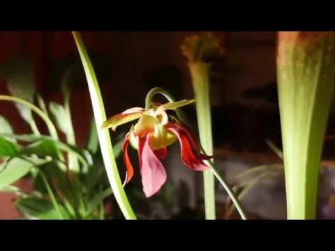 Sarracenia Leucophylla (Pitcher plant) Blooming in Time-lapse