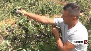 Historia/ Dibrani lë Italinë dhe kthehet në Shqipëri për të kultivuar bimë medicinale