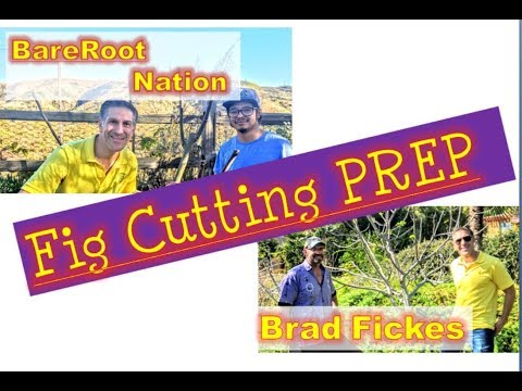 PREPARING THE CUTTINGS from Several Varieties Of Figs | BareRoot Nation Exotic & Tropical Nursery