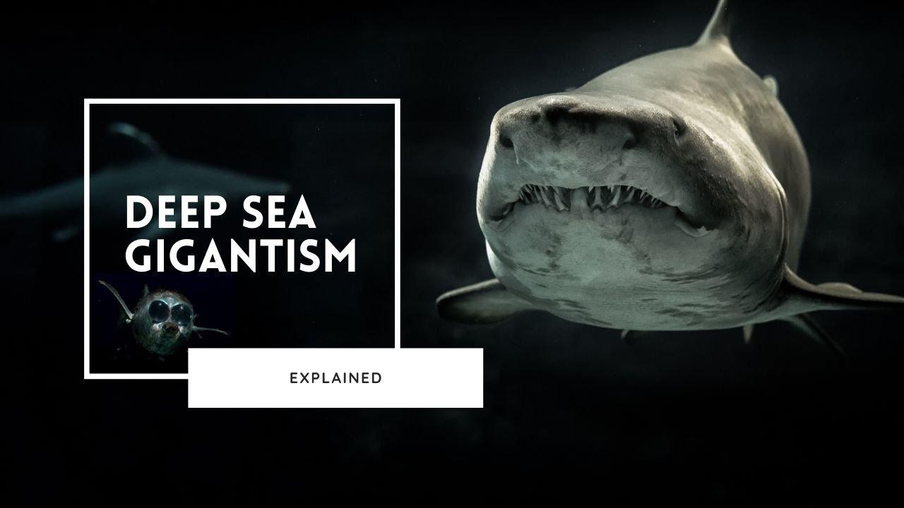 Deep Sea Gigantism Explained