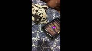 2 Month Old Dalmatian Playing iPad Cat Game