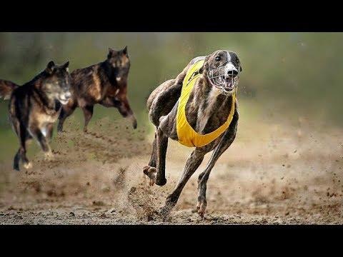 Greyhound vs Wolf - Wh...