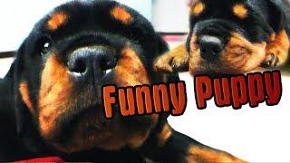 AMAZING ROTTWEILER Funny Puppy / МИЛЫЙ ЩЕНОК РОТВЕЙЛЕРА / СОПИТ КОГДА СПИТ)))