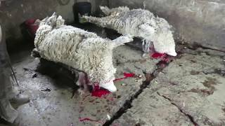 How WOOL + Ugly UGGS Fur are Made in REVERSE - Rewind (PETA) Sheep Lamb NOT Kosher
