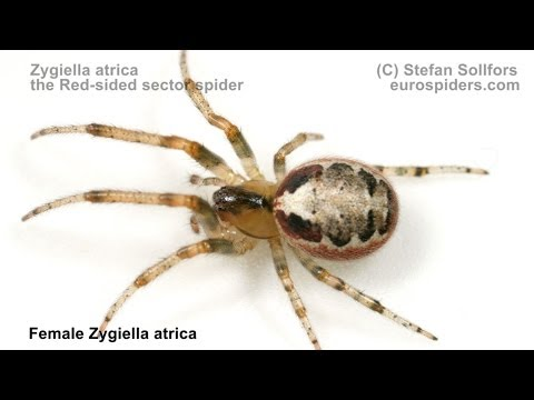Zygiella atrica - the Red-sided Sector spider