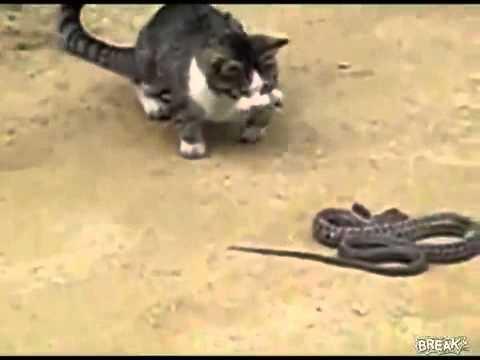 yılanla Kedinin  kapışması