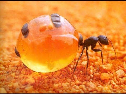 Yummy Honey Ants! - YouTube