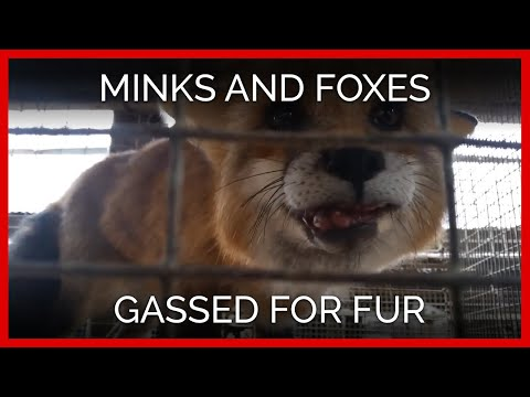 Minks and Foxes Gassed en Masse