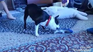チョビンのよくする遊び様を写した短い動画です。